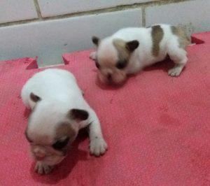 Bulldog Francês - novas ninhadas com lindos filhotes - 20180424 224223 300x266 - Bulldog Francês – novas ninhadas com lindos filhotes