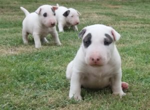 Bull terrier- Nova ninhada disponível com excelente pedigree. Nasc. 26/11/17 - 3 300x220 - Bull terrier- Nova ninhada disponível com excelente pedigree. Nasc. 26/11/17