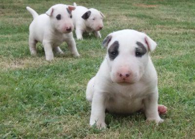 3 filhotes de bull terrier niterói - 3 400x284 - Filhotes de Bull Terrier Niterói