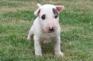 Bull terrier- Nova ninhada disponível com excelente pedigree. Nasc. 26/11/17 - 4 300x195 - Bull terrier- Nova ninhada disponível com excelente pedigree. Nasc. 26/11/17
