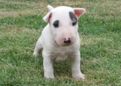 4 filhotes de bull terrier niterói - 4 400x284 - Filhotes de Bull Terrier Niterói