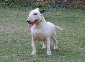 Bull terrier- Nova ninhada disponível com excelente pedigree. Nasc. 26/11/17 - Keyla 300x217 - Bull terrier- Nova ninhada disponível com excelente pedigree. Nasc. 26/11/17