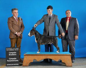 Bull terrier- Nova ninhada disponível com excelente pedigree. Nasc. 26/11/17 - Pai Kenpachi 300x240 - Bull terrier- Nova ninhada disponível com excelente pedigree. Nasc. 26/11/17