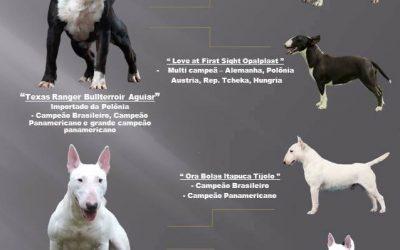 Bull terrier miniatura linda ninhada disponível com excelente pedigree Blog de Notícias - Texas x Minota 400x250 - Blog de Notícias