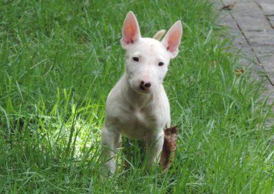 023 filhotes de bull terrier niterói - 023 400x284 - Filhotes de Bull Terrier Niterói