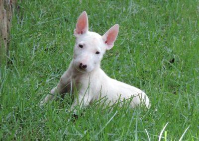 024 filhotes de bull terrier niterói - 024 400x284 - Filhotes de Bull Terrier Niterói