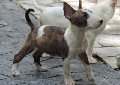 033 filhotes de bull terrier niterói - 033 400x284 - Filhotes de Bull Terrier Niterói