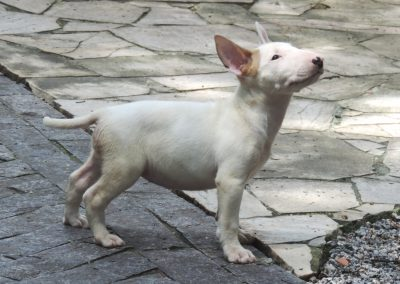 035 filhotes de bull terrier niterói - 035 400x284 - Filhotes de Bull Terrier Niterói