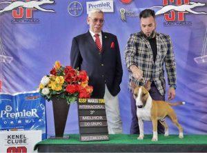 Bull terrier miniatura - nova ninhada com excelente pedigree nascida em 08/05/2018 - Pai Spock 300x222 - Bull terrier miniatura – nova ninhada com excelente pedigree nascida em 08/05/2018
