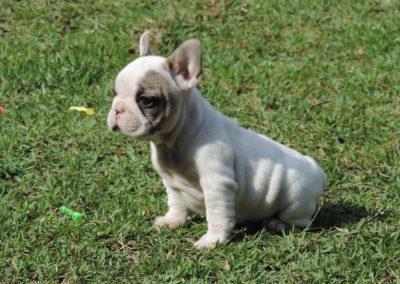 Fêmea 1a filhotes de bulldog francês em niterói - F  mea 1a 4 400x284 - Filhotes de Bulldog Francês em Niterói RJ