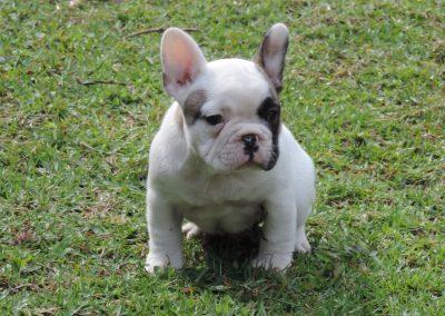 Macho 1a filhotes de bulldog francês em niterói - Macho 1a 1 400x284 - Filhotes de Bulldog Francês em Niterói RJ
