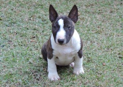 Fêmea 1a filhotes bull terrier miniatura em niterói - F  mea 1a 400x284 - Filhotes Bull Terrier Miniatura em Niterói