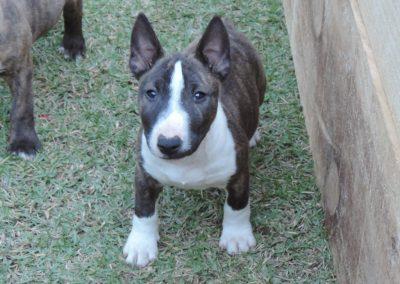 Macho 1a filhotes bull terrier miniatura em niterói - Macho 1a 1 400x284 - Filhotes Bull Terrier Miniatura em Niterói