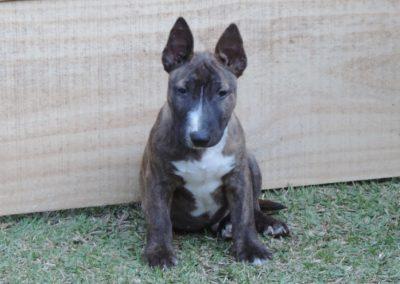 Macho 2 filhotes bull terrier miniatura em niterói - Macho 2 400x284 - Filhotes Bull Terrier Miniatura em Niterói