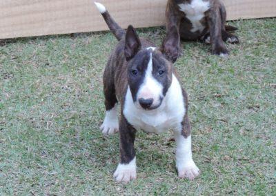 Macho 3a filhotes bull terrier miniatura em niterói - Macho 3a 1 400x284 - Filhotes Bull Terrier Miniatura em Niterói
