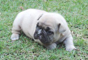 Bulldog Francês - novas ninhadas com lindos filhotes - 1 300x206 - Bulldog Francês – novas ninhadas com lindos filhotes