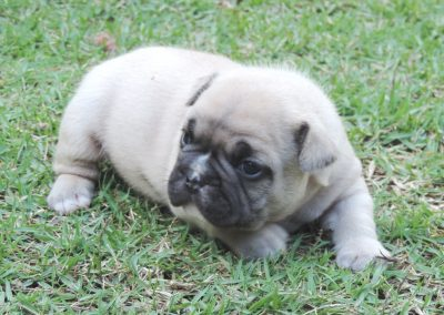 1 filhotes de bulldog francês em niterói - 1 400x284 - Filhotes de Bulldog Francês em Niterói RJ