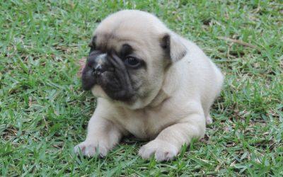 Bulldog Francês – novas ninhadas com lindos filhotes Blog de Notícias - 2 400x250 - Blog de Notícias