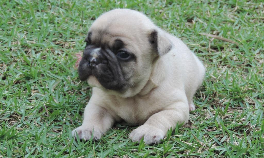 Bulldog Francês – novas ninhadas com lindos filhotes