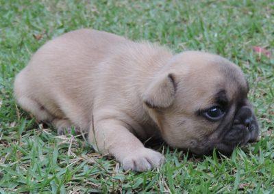 5 filhotes de bulldog francês em niterói - 5 400x284 - Filhotes de Bulldog Francês em Niterói RJ