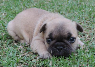 6 filhotes de bulldog francês em niterói - 6 400x284 - Filhotes de Bulldog Francês em Niterói RJ