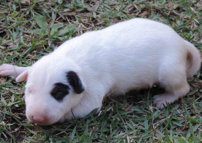 Fêmea 2b filhotes de bull terrier niterói - F  mea 2b 400x284 - Filhotes de Bull Terrier Niterói