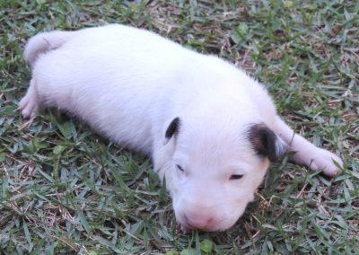 Macho 1a filhotes de bull terrier niterói - Macho 1a 400x284 - Filhotes de Bull Terrier Niterói