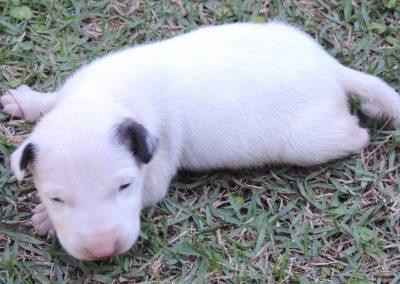 Macho 1b filhotes de bull terrier niterói - Macho 1b 400x284 - Filhotes de Bull Terrier Niterói