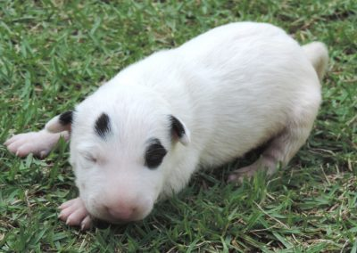 Macho 3a filhotes de bull terrier niterói - Macho 3a 400x284 - Filhotes de Bull Terrier Niterói