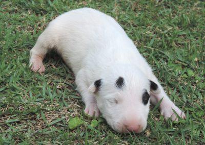Macho 3b filhotes de bull terrier niterói - Macho 3b 400x284 - Filhotes de Bull Terrier Niterói
