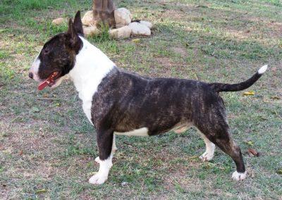 "Buakaw de L`cossta ""Joaquin"" bull terrier miniatura - 046 400x284 - Bull Terrier Miniatura em Niterói"