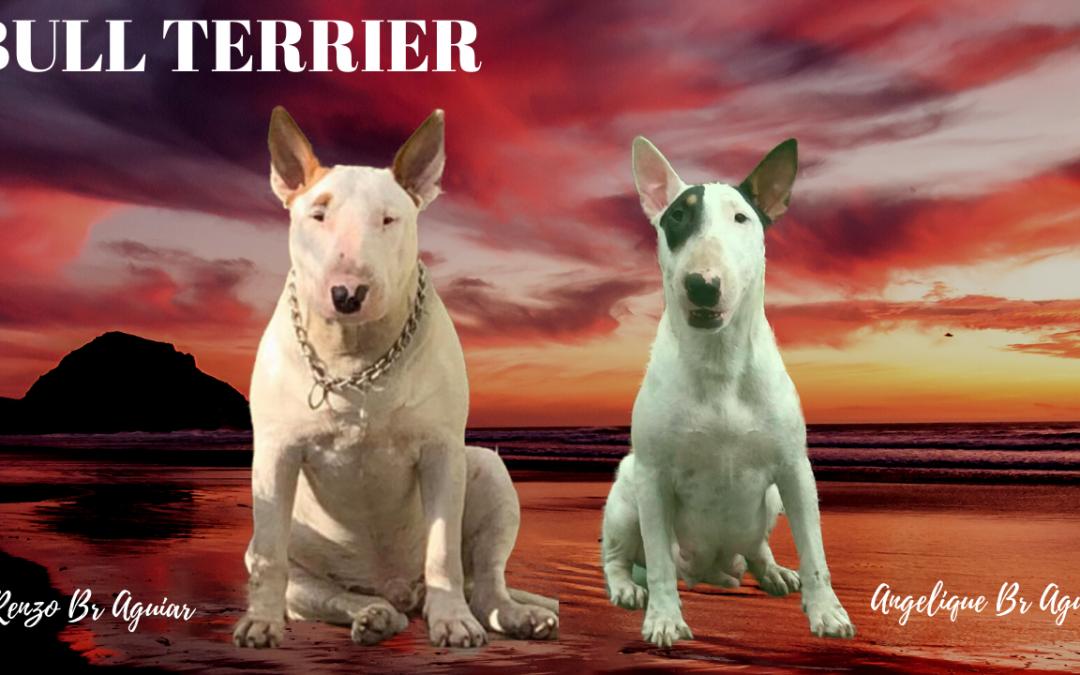 Bull terrier standard (normal) ninhada com excelente pedigree nascida em 25/09/2019