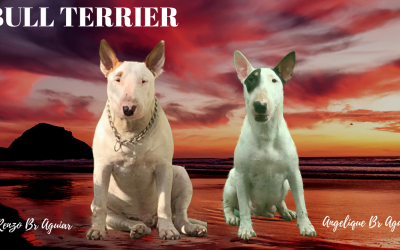 Bull terrier standard (normal) ninhada com excelente pedigree nascida em 25/09/2019  - BULL TERRIER 2 400x250 - Nossa Equipe