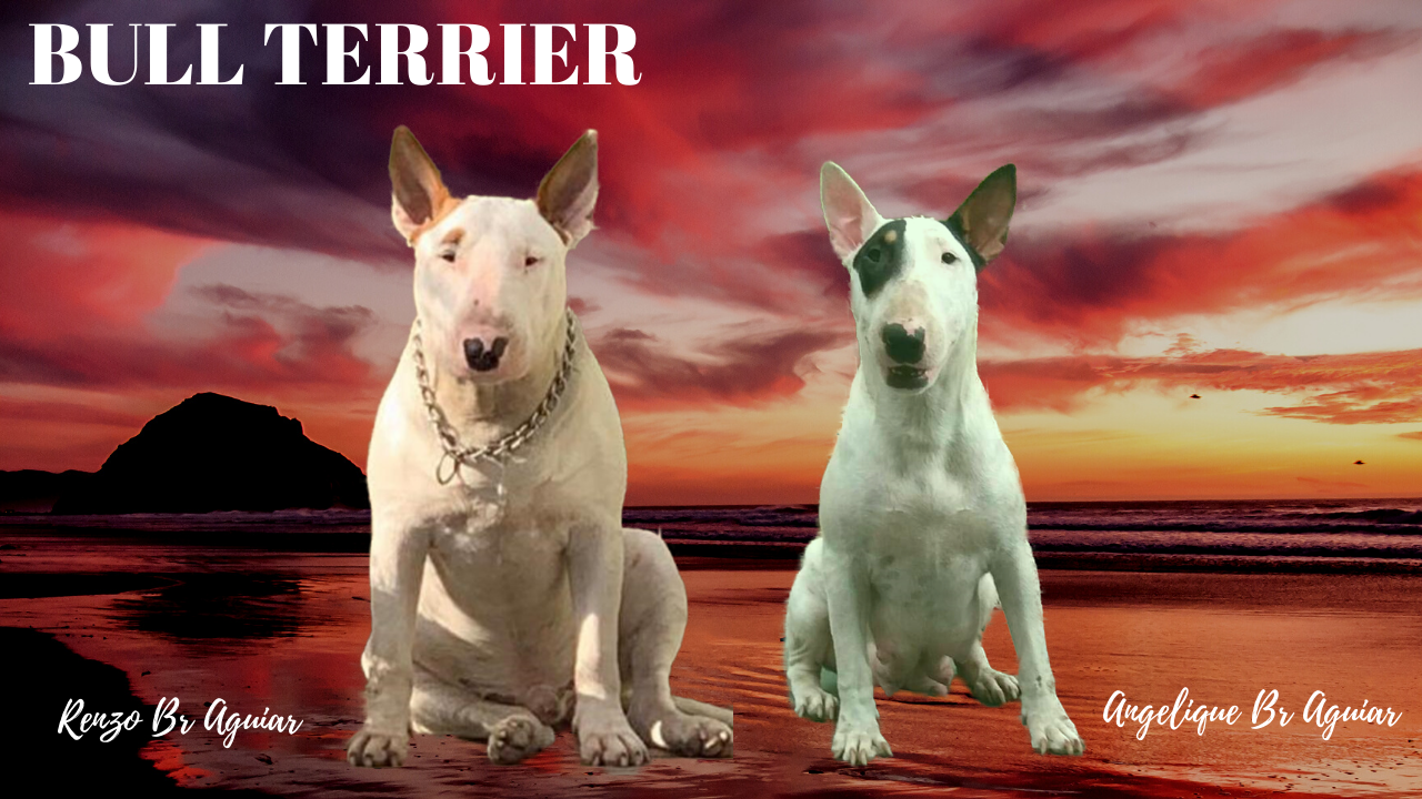 - BULL TERRIER 2 - Bull terrier standard (normal) ninhada com excelente pedigree nascida em 25/09/2019 canil em niteroi - BULL TERRIER 2 - Canil em Niteroi