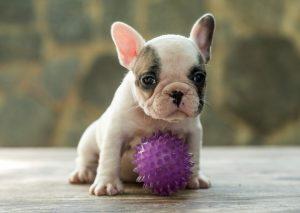- F  mea 1 - Bulldog Francês – nova ninhada nascida em 02/12/2019, machos e fêmeas disponíveis.