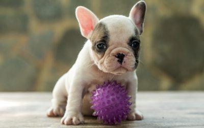 Bulldog Francês – nova ninhada nascida em 02/12/2019, machos e fêmeas disponíveis.  - F  mea 1 - Nossa Equipe
