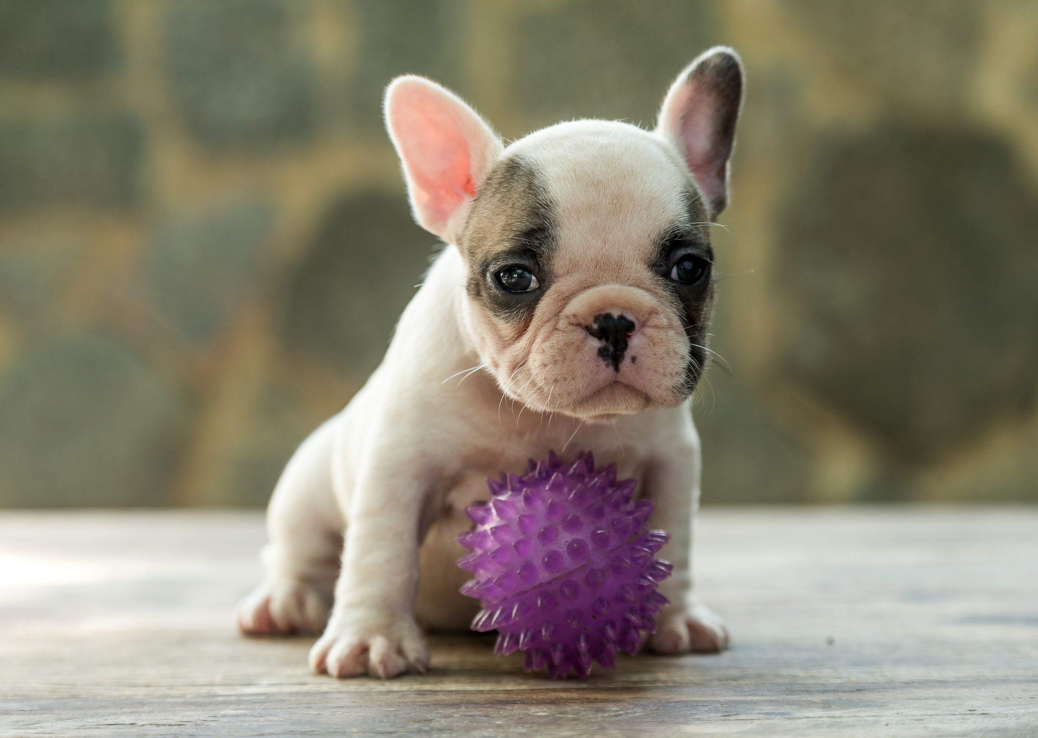 - F  mea 1 - Bulldog Francês – nova ninhada nascida em 02/12/2019, machos e fêmeas disponíveis. canil em niteroi - F C3 AAmea 1 - Canil em Niteroi