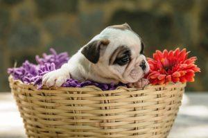 - F  mea 3 - Bulldog Francês – nova ninhada nascida em 02/12/2019, machos e fêmeas disponíveis.