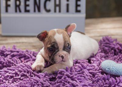 filhotes de bulldog francês em niterói - Macho 2 - Filhotes de Bulldog Francês em Niterói RJ