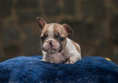 filhotes de bulldog francês em niterói - Macho 3 - Filhotes de Bulldog Francês em Niterói RJ