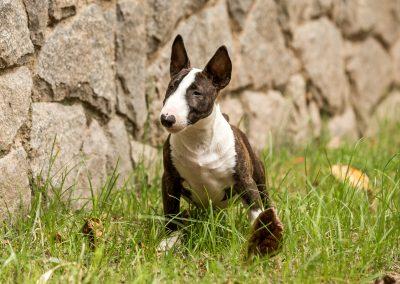 filhotes bull terrier miniatura em niterói - Mini tigrado 1 400x284 - Filhotes Bull Terrier Miniatura em Niterói