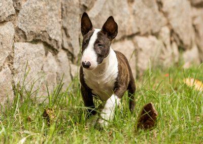 filhotes bull terrier miniatura em niterói - Mini tigrado 2 400x284 - Filhotes Bull Terrier Miniatura em Niterói
