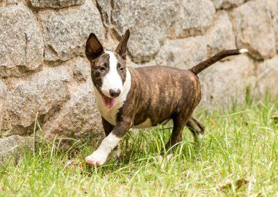 filhotes bull terrier miniatura em niterói - Mini tigrado 3 400x284 - Filhotes Bull Terrier Miniatura em Niterói