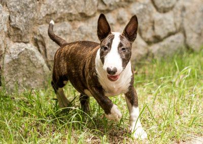 filhotes bull terrier miniatura em niterói - Mini tigrado 4 400x284 - Filhotes Bull Terrier Miniatura em Niterói